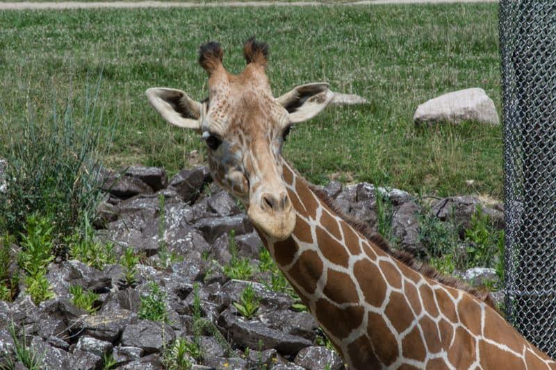 Columbus-Zoo-Giraffe