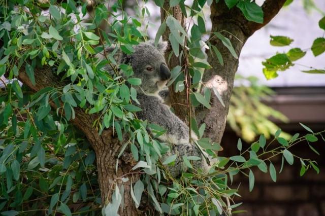 Columbus-Zoo-Koala