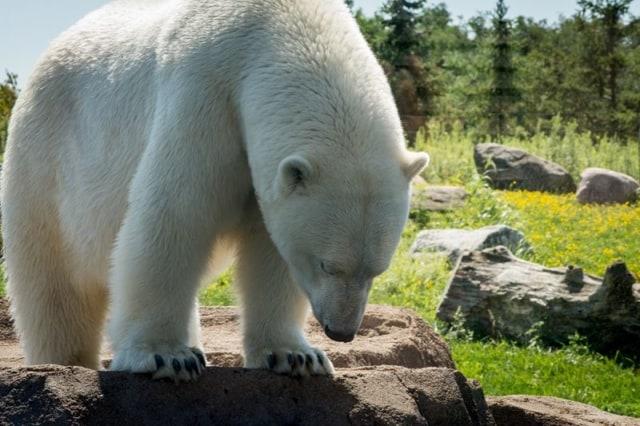 Columbus-Zoo-Polar-Bear