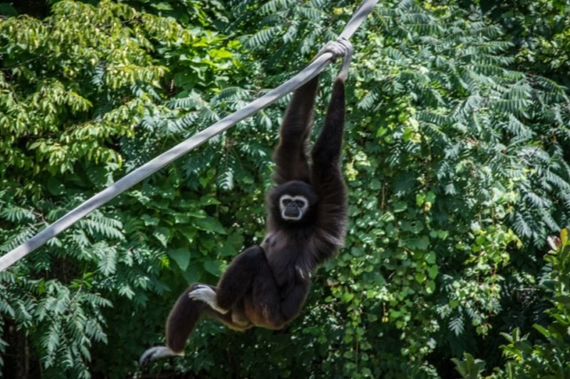 Gibbon-At-The-Columbus-with-Baby-1
