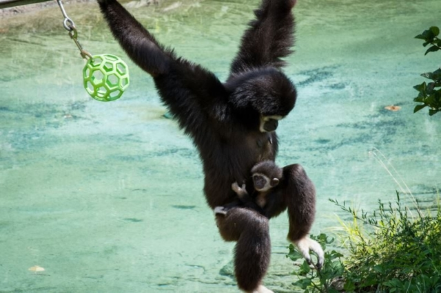Gibbon-At-The-Columbus-with-Baby-2