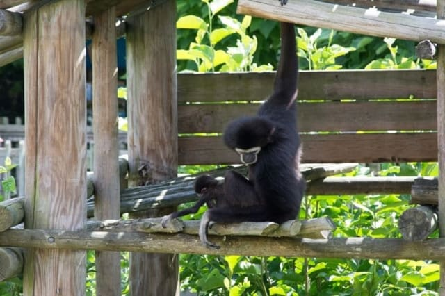 Gibbon-At-The-Columbus-with-Baby