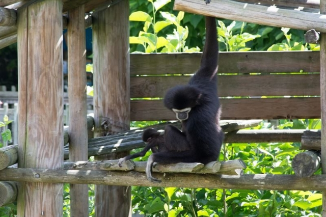 Gibbon-At-The-Columbus-with-Baby-3