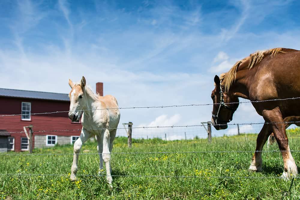 Amish-Horses